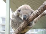 Imprimer le dessin en couleurs : Koala, numéro 621662