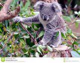 Imprimer le dessin en couleurs : Koala, numéro 626400
