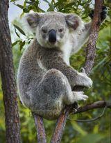 Imprimer le dessin en couleurs : Koala, numéro 689807
