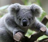 Imprimer le dessin en couleurs : Koala, numéro 689810