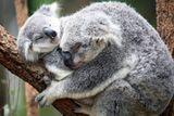 Imprimer le dessin en couleurs : Koala, numéro 689821