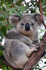 Imprimer le dessin en couleurs : Koala, numéro 689823