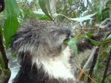 Imprimer le dessin en couleurs : Koala, numéro 689824