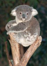 Imprimer le dessin en couleurs : Koala, numéro 689825