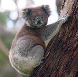 Imprimer le dessin en couleurs : Koala, numéro 6a71fbac