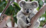 Imprimer le dessin en couleurs : Koala, numéro 86b67aaf