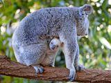 Imprimer le dessin en couleurs : Koala, numéro ad23644a