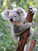 Imprimer le dessin en couleurs : Koala, numéro b8eb0de7