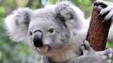 Imprimer le dessin en couleurs : Koala, numéro d1e5dea8