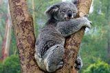Imprimer le dessin en couleurs : Koala, numéro d76b200e