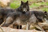 Imprimer le dessin en couleurs : Loup, numéro 3e31fc98