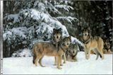 Imprimer le dessin en couleurs : Loup, numéro 692596
