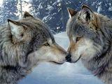 Imprimer le dessin en couleurs : Loup, numéro 692610