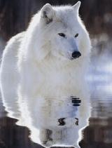 Imprimer le dessin en couleurs : Loup, numéro 692613