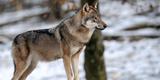 Imprimer le dessin en couleurs : Loup, numéro 8b2386c0