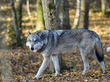 Imprimer le dessin en couleurs : Loup, numéro a3c3136