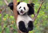 Imprimer le dessin en couleurs : Panda, numéro 16716e25