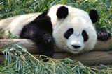 Imprimer le dessin en couleurs : Panda, numéro 2081a123