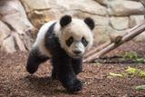 Imprimer le dessin en couleurs : Panda, numéro 589b0ab4