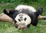 Imprimer le dessin en couleurs : Panda, numéro 685842