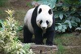Imprimer le dessin en couleurs : Panda, numéro a2810f4f
