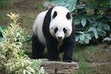 Imprimer le dessin en couleurs : Panda, numéro b0a33e12