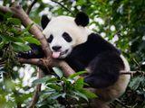 Imprimer le dessin en couleurs : Panda, numéro b89c5613