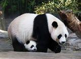 Imprimer le dessin en couleurs : Panda, numéro f80df937