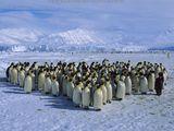 Imprimer le dessin en couleurs : Pinguoin, numéro 683105