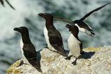 Imprimer le dessin en couleurs : Pinguoin, numéro 811a0a18