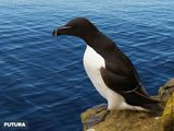 Imprimer le dessin en couleurs : Pinguoin, numéro b4a3ca56
