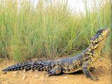 Imprimer le dessin en couleurs : Reptiles, numéro 240042