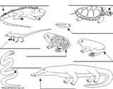 Imprimer le coloriage : Reptiles, numéro 25795