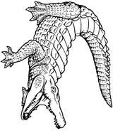 Imprimer le coloriage : Crocodile, numéro 23992