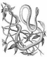 Imprimer le coloriage : Serpent, numéro 24044
