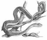 Imprimer le coloriage : Serpent, numéro 24046