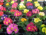 Imprimer le dessin en couleurs : Fleurs, numéro 683523