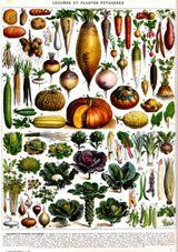 Imprimer le dessin en couleurs : Légumes, numéro 9897