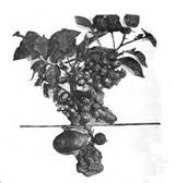 Imprimer le coloriage : Pomme de terre, numéro 186073