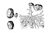 Imprimer le coloriage : Pomme de terre, numéro 226408