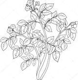 Imprimer le coloriage : Pomme de terre, numéro 2bf40940