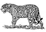 Imprimer le coloriage : Jaguar, numéro 148526