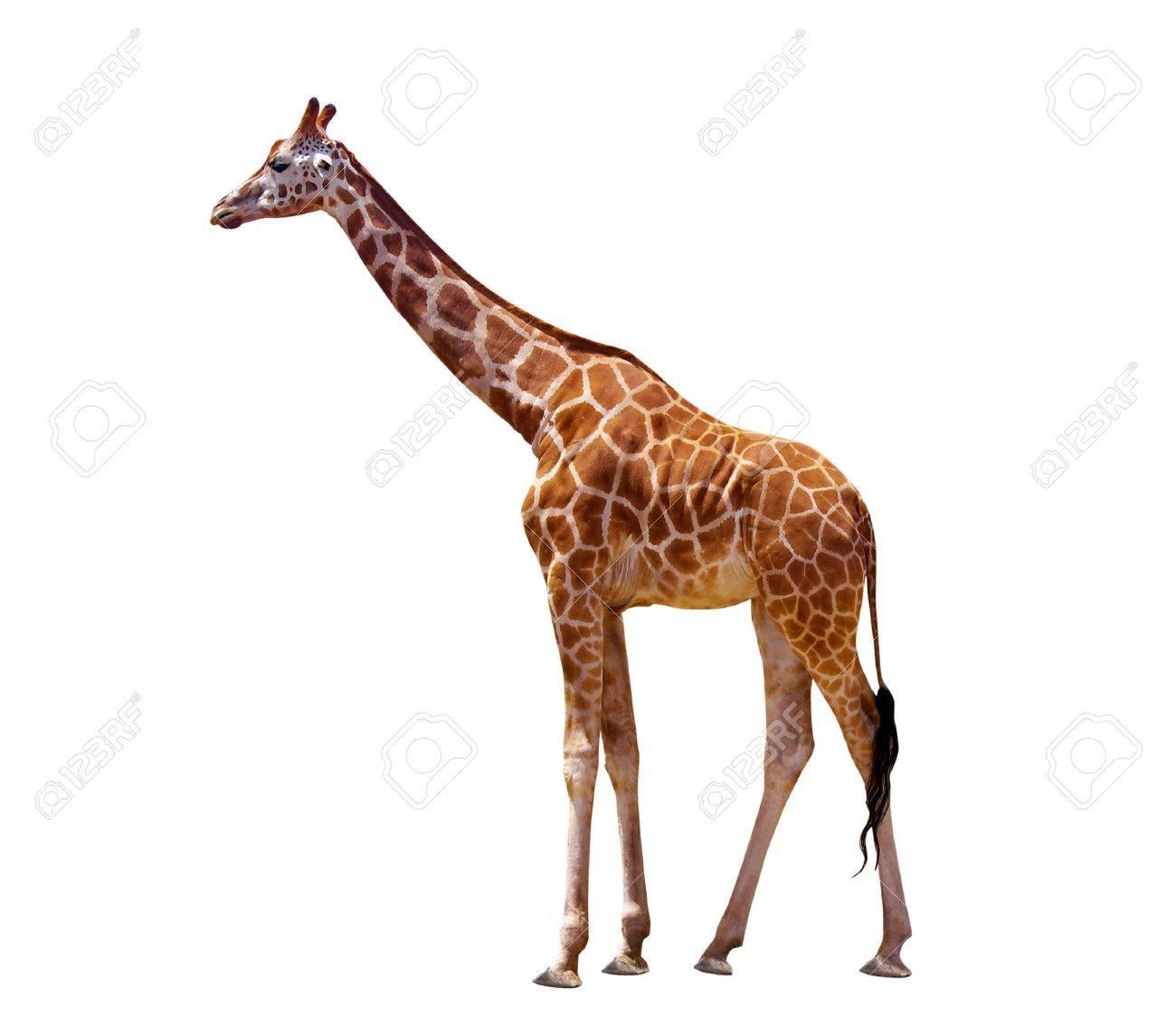 Dessins En Couleurs A Imprimer Girafe Numero 9b431a6e