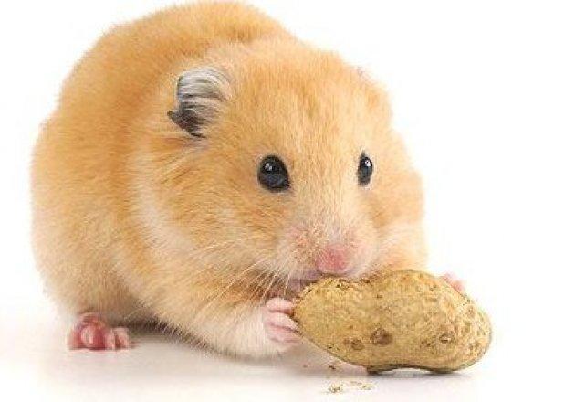 Dessins en couleurs à imprimer : Hamster, numéro : 117836