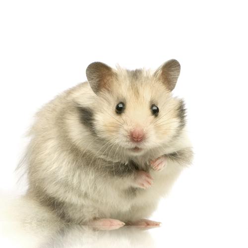 Dessins en couleurs à imprimer : Hamster, numéro : 117851