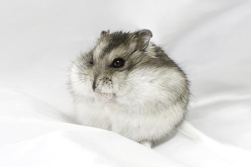 Dessins en couleurs à imprimer : Hamster, numéro : 157302