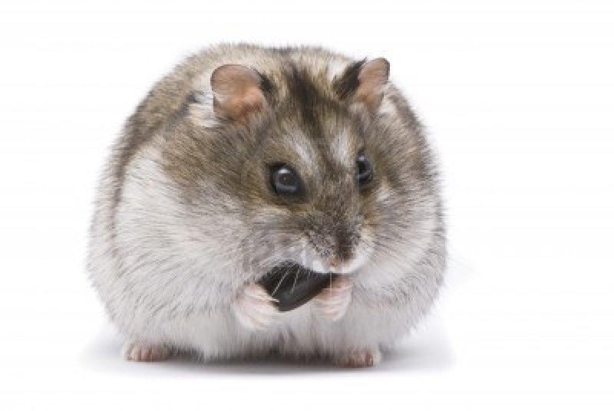 Dessins en couleurs à imprimer : Hamster, numéro : 157312