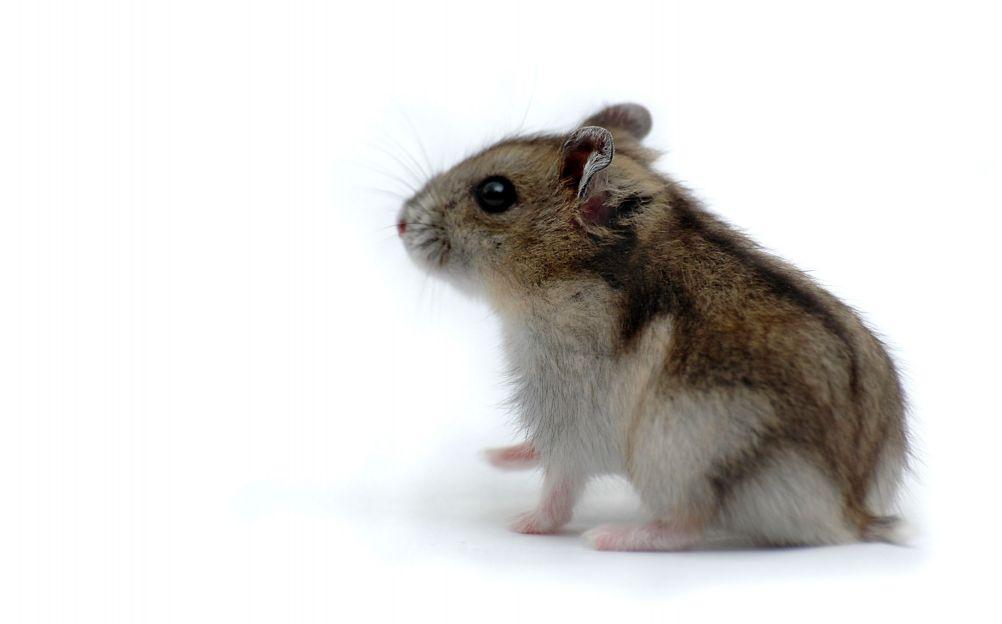 Dessins en couleurs à imprimer : Hamster, numéro : 169517