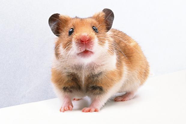 Dessins en couleurs à imprimer : Hamster, numéro : 289005