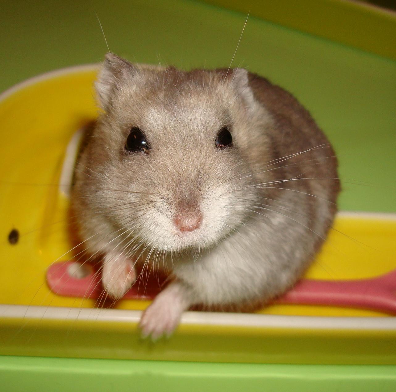 Dessins en couleurs à imprimer : Hamster, numéro : 683418